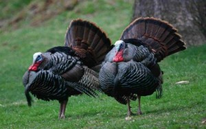 wild-turkeys_w520